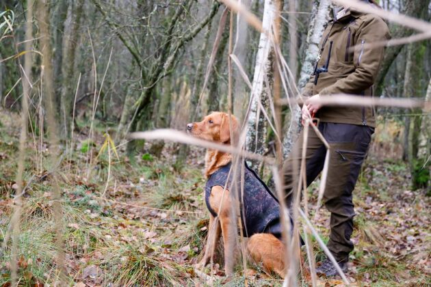 Många hundförare tar semester för att vara med på jakterna. Som tack för hjälpen bjuds de in som skyttar de två sista jakterna.