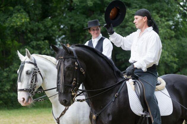 Två kladruberhästar på en festival i Tjeckien.