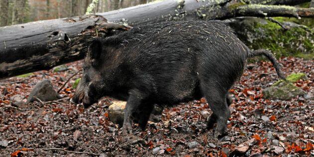 Organiserad jakt mot vildsvin i Store Mosse