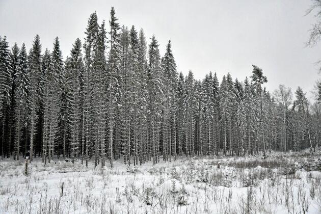 En stor del av Sören Petterssons granskog planterades på åkermark för 45-50 år sedan. I mitten av bilden står några barkborreangripna granar.
