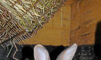 Felaktiga regler hämmar kaninuppfödningen