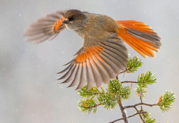 Föreningen Birdlife Sverige har överklagat de så kallade lavskrikedomarna från mark- och miljödomstolen.