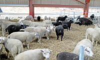 Unik höjning av lammpriset