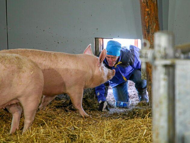 Per kikar in genom luckan till suggorna. De har det varmt och skönt inne i stallarna - på det tjocka, mjuka halmlagret.