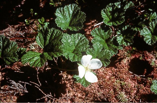 HJortron om våren. De blanka, mörkgröna bladen är lätta att känna igen. Finns det dessutom blommor finns det hopp. Foto: IBL.