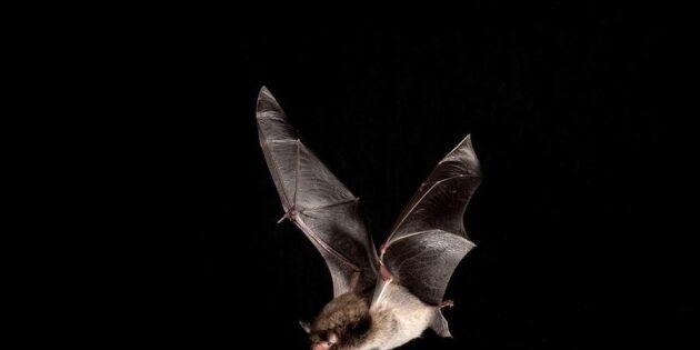 Blinda, suger blod och de har rabies – sant och falskt om fladdermöss