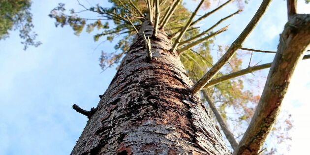 Vedsvampar kan bli vapen mot barkborrar