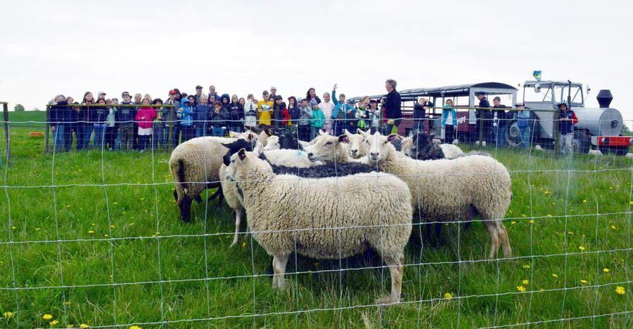 Fåren är invallade av vallhundarna. Efter många matrundor tycks även fåren ganska drillade på rutinerna när tåget med barnen kommer.