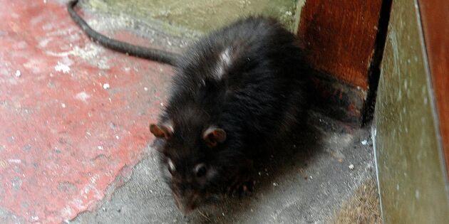 Nu kan bonden få lägga ut råttgift själv