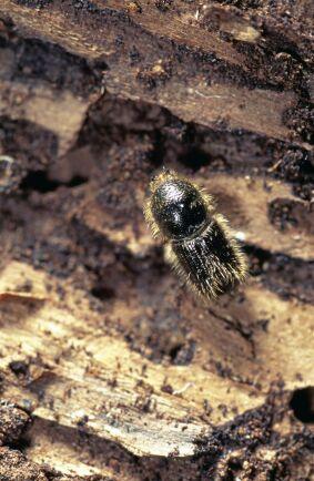 I takt med klimatförändringarna ökar riskerna för insektsangrepp i skogen.