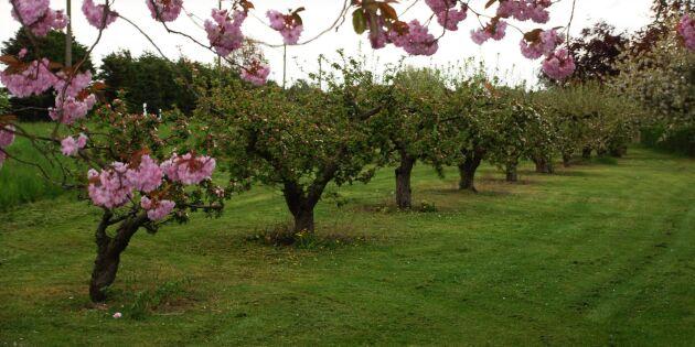 Frostnätter kan slå mot äppelskörden
