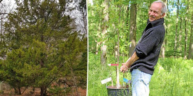 Forskare ska rädda lönsamt nischträd