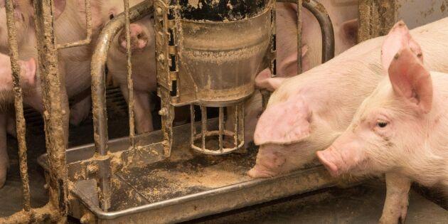 Svinpest skulle slå ut dansk grisexport