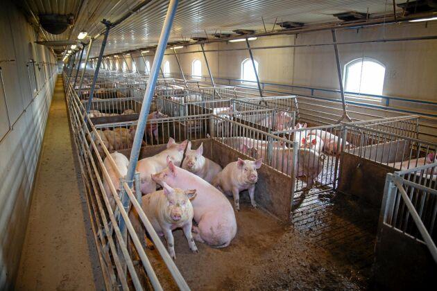 Efterfrågan på grisar ökar inför julhandeln.