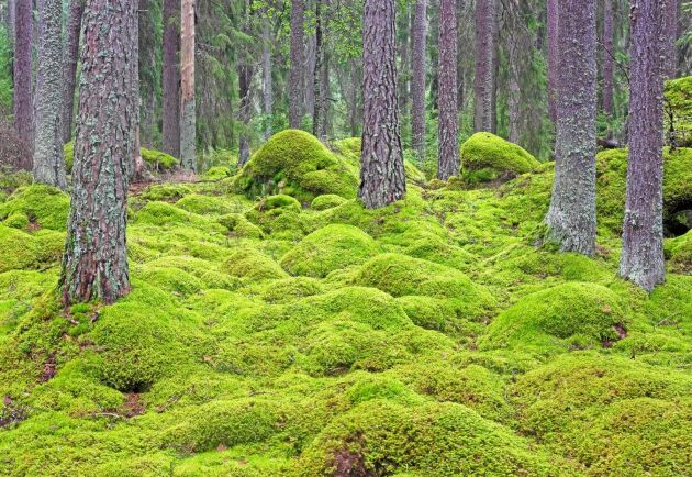 Naturhänsynen ökar i de svenska skogarna, bland annat har arealen med gammal skog ökat kraftigt, skriver debattören.