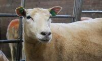 Nytt verktyg ska öka lammköttets kvalitet