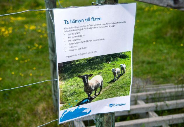 """Fåren går på naturbete i genomgångshagar, där besökarna den senaste tiden blivit fler. """"Kommunen har varit behjälplig och satt upp skyltar. Fåren är där för att hålla landskapet fritt, de jobbar, och då kan de inte bli störda hela tiden"""", säger Titti Jöngren."""