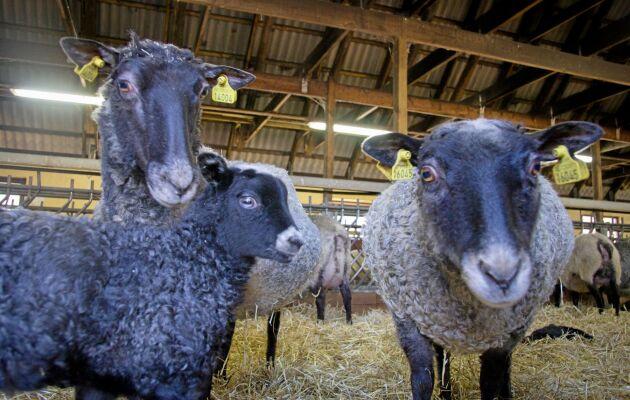 Ekastiga gård dessutom förädlar och säljer man även fårskinnen och lönsamheten är god.
