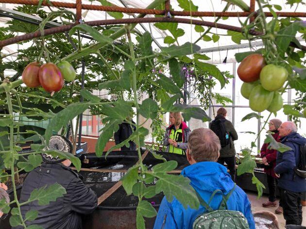 I växthuset i Ödevata växer tomater året runt.