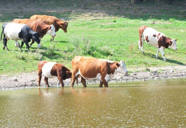 Under flera år har tjurar och kvigor till och från gått lösa helt utan tillsyn i ett litet samhälle utanför Alvesta. (Arkivbild).