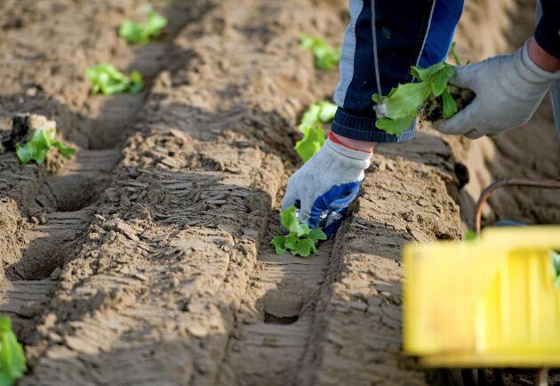 Att så, plantera och skörda vid frilandsodling är arbetsmoment som är fysiskt krävande för personalen eftersom det ofta görs i eller under knähöjd.
