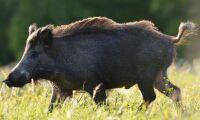 Sändargrisar ska skydda mot afrikansk svinpest