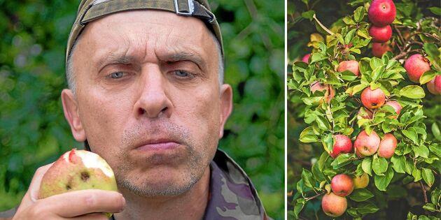 Därför smakar äpplet annorlunda i år