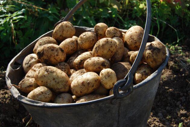 Kökets trotjänare, potatisen, som är billig, god och hållbar.