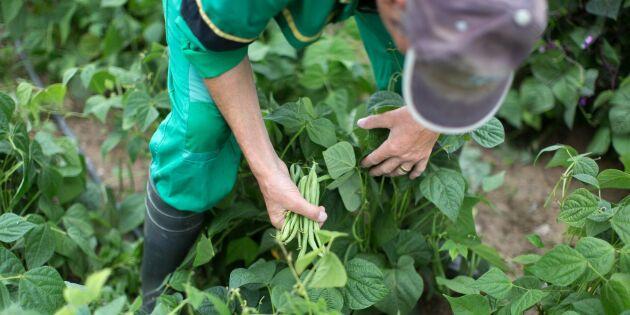 Brist på personal i trädgårdsodlingen hotar skörden