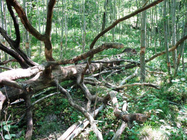 Gråalen har stor potential som energiträd tror Skogsforsk.