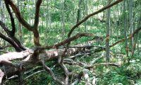 Gråalen nytt energiträd