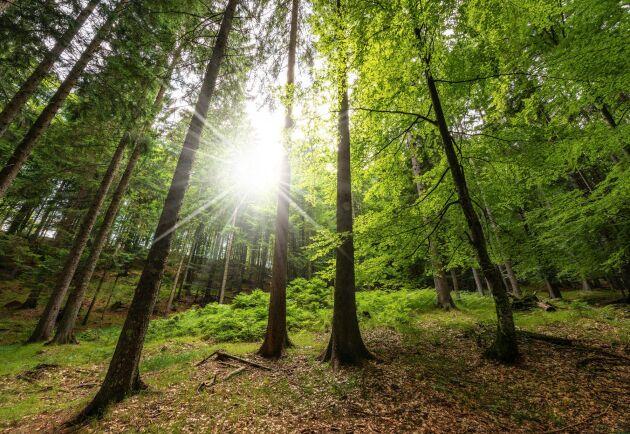 Det ligger mycket arbete bakom en vacker skog. Oro för kritik får skogsägare att gallra för lite enligt Skogforsk.