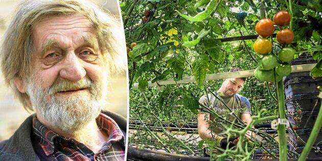 82-årige Peckas vision blev verklighet:Svenska tomater året om!