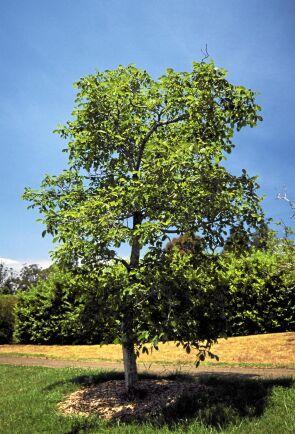 HÖJDARE. Valnötsträdet blir upp till tolv meter högt och kan kräva arboristhjälp på ålderns höst. Foto: IBL