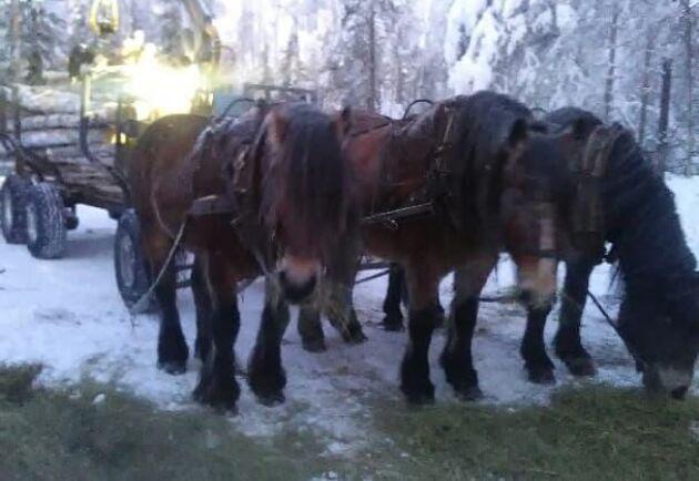 """När de är i fullt arbete, äter hästarna upp till 5 kilo havre per dag. """"Real Biopower"""", som familjen Lundgren kallar det."""