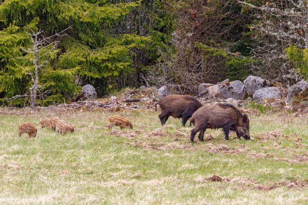 Det beräknas nu finnas mellan 400 000 och 450 000 vildsvin i Sverige.