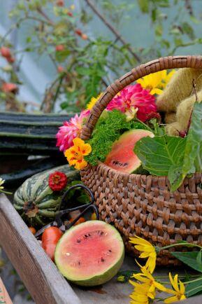 Odla vattenmelon själv. 'Little darling' vill komma i jorden tidigt.