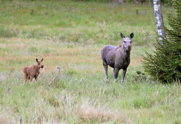 Jägarna har märkt att årets älgkalvar är färre och klenare än vanligt.