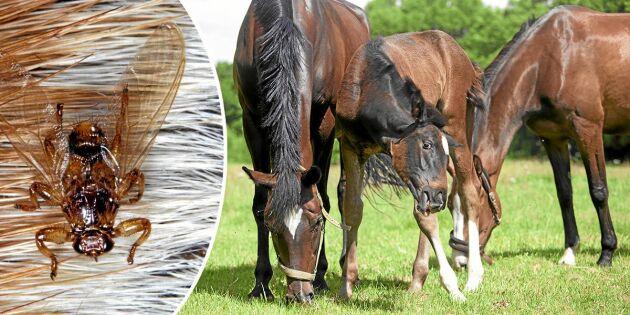 Se upp! Här är sensommarflugorna som plågar din häst