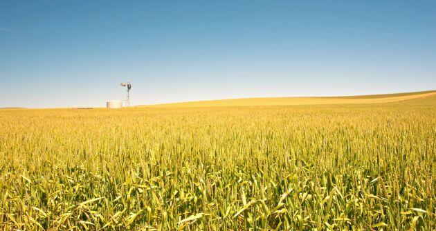 Den australiska veteskörden skrevs upp med 4,7 miljoner ton i decembers månads WASDE-rapport.