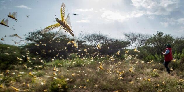 Drönare ska bekämpa gräshoppor i Östafrika