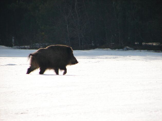 Proppmätta och feta vildsvin förökar sig mer än magra och utsvultna.