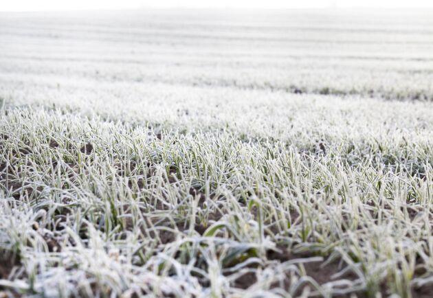I Dalarna och Gävleborg finns en oro att höstvetet ska frysa på. Samtidigt längtar man efter tjäle och skyddande snötäcken. Arkivbild.