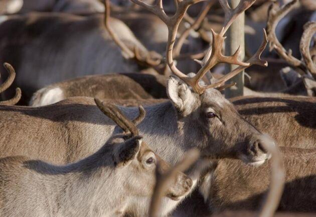 Sametinget ber om stöd för utfodring av renar.