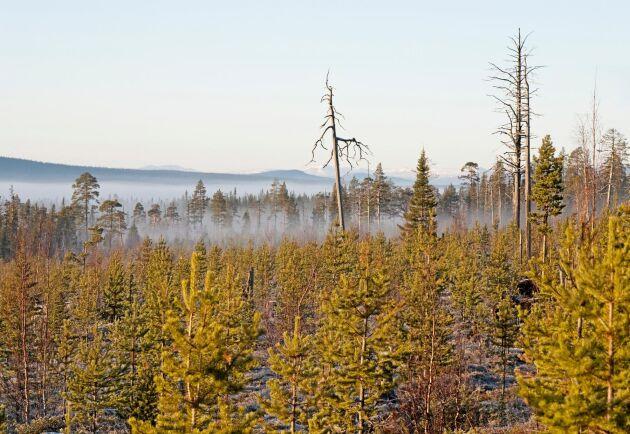 Kalhygge med plantage i fjällnära skog. Bilden visar kanten på jättehygget upptaget i början av 1980-talet.