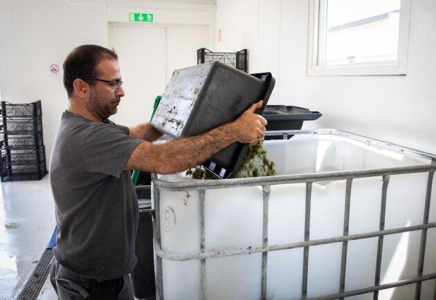 De växtfibrer som blir över efter pressningen tömmer Ecevit Yilmaz, partneransvarig, i en behållare för att sparas.