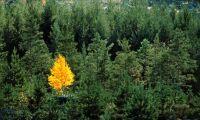 Ny rapport: barrskog binder mest koldioxid
