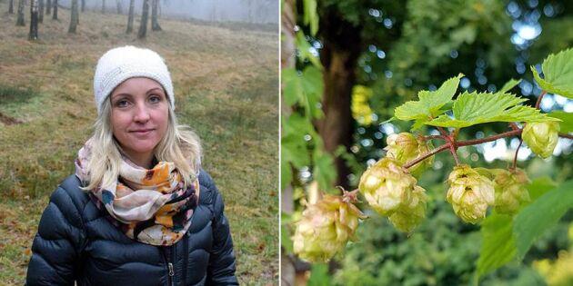 Humlen växer så det knakar i Sverige