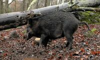 Afrikansk svinpest hotar vildsvinen