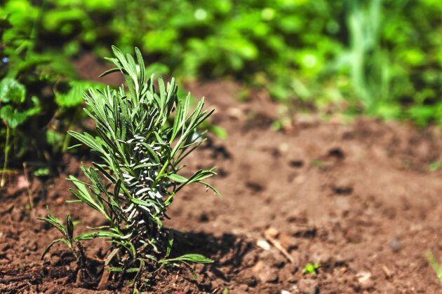 På egen rot. Efter en säsong kan den nya plantan klara sig själv, utan näring från mamma. Foto: IBL.